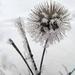 téli virág
