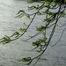 vízparti fa