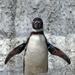 Humboldt pingvin