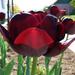 tulipán, fények