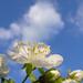 meggyvirág