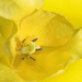 Sárga tulipán eső után