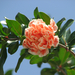 IMG 1906 rózsaszín virág