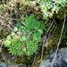 különleges növények, vad kövirózsa a bazalton