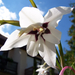 különleges növények, fehér abessin makro