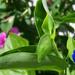 különleges növények, kicsi kék szépség