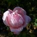 rózsa, rózsa rózsaszín